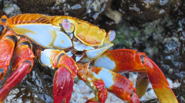 Galapagos - Février 2015 - Las Bachas (93)