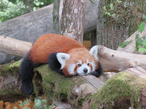 640 panda roux